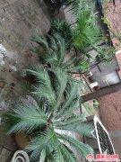 宿村村北老人自养 铁树 叶扇蒲 等植物 便宜卖